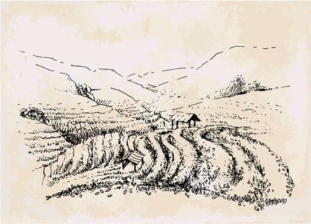 tea plantation hand drawing, field with black tea anf green