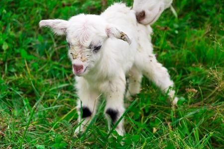 Cute white goat kid on a farm