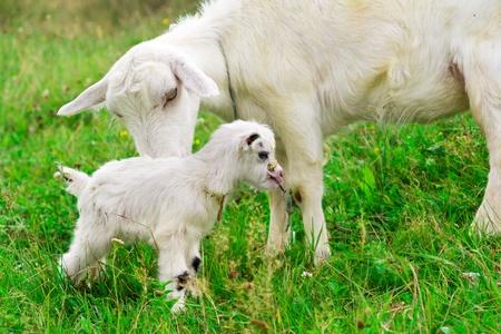 Cute bílá koza dítě s matkou kozou na farmě