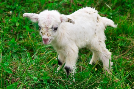 Cute white goat kid on a farm photo