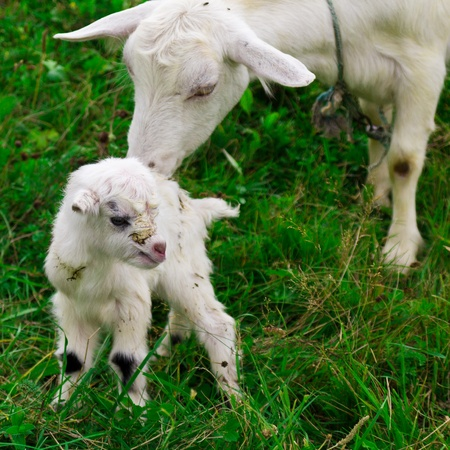 Cute white goat kid with mother goat on a farm