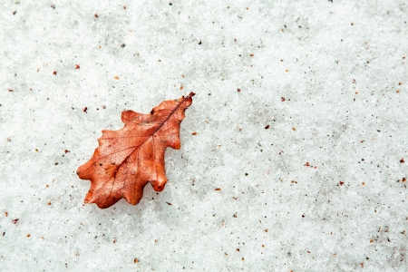 durty: Fallen red oak leaf on a durty snow as a background