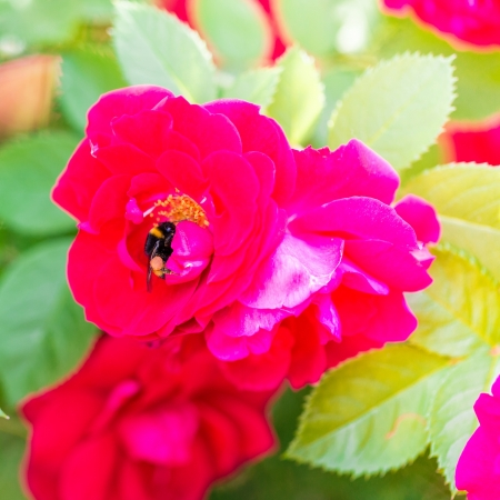 Bee gathering pollen on red rose, macro shot photo