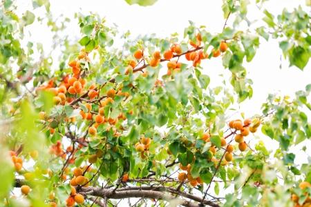 Zralé meruňky rostoucí na větvi mezi zelenými listy Reklamní fotografie
