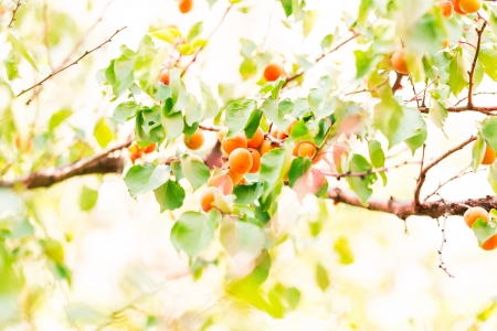 Ripe apricots growing on a branch among green leaves photo
