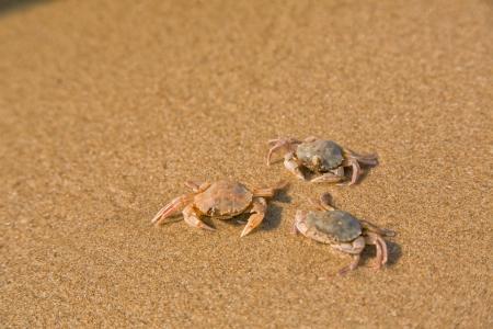 Dítě krab na písečné pláži, mořské pobřeží