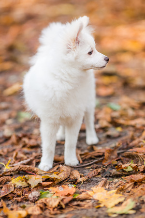 cute puppy: Cute white pomeranian spitz puppy outdoor in autumn leaves