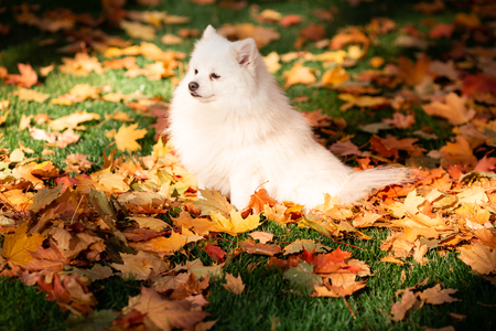 Cute white friendly spitz dog in autumn leaves in the park Reklamní fotografie
