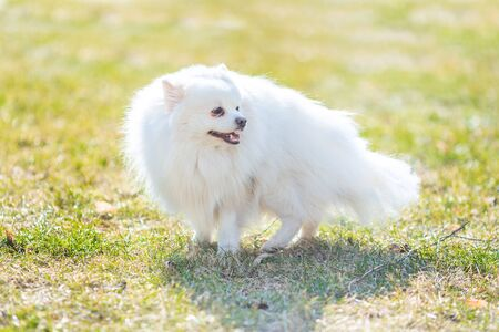 White small pomeranian spitz sitting on the lawn outdoor in the park