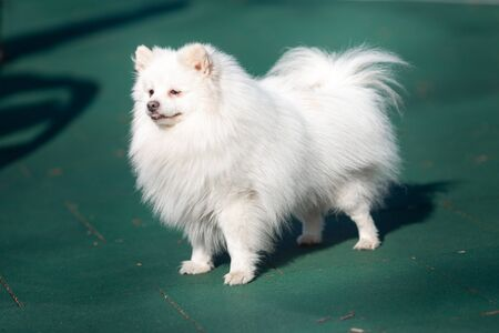 White small pomeranian spitz standing on the playground outdoor in the park Stockfoto