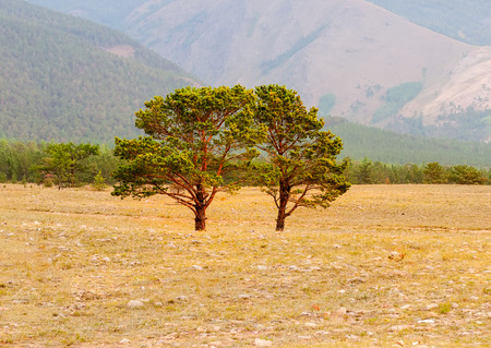 siberian pine: Two  siberian pine in the field  with forest background