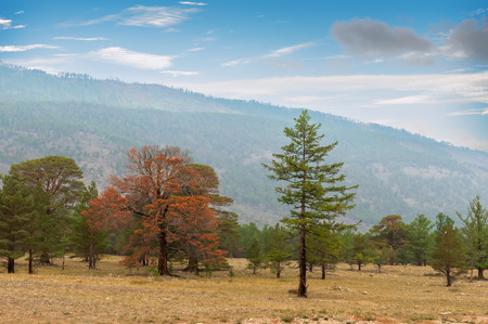 siberian pine:  Siberian pine  forest