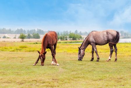 graze: Two horses graze in a field