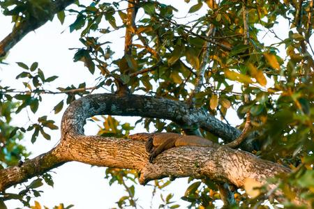 salvator: A water monitor(Varanus salvator) laying on the tree on sunset