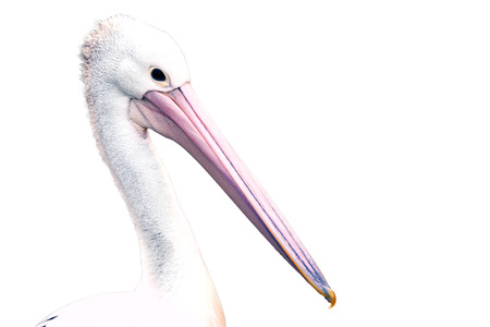 White Pelican (Pelecanus onocrotalus) also known as the Eastern White Pelican, Rosy Pelican or White Pelican is a bird in the pelican family  isolated