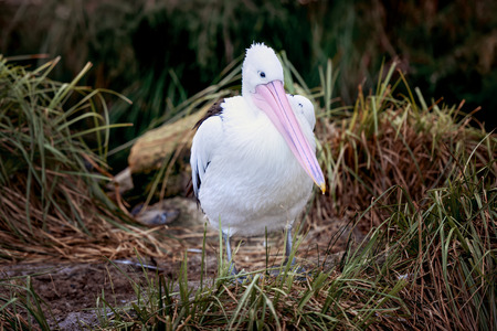 Australian White Pelican (Pelecanus onocrotalus) also known as the Eastern White Pelican, Rosy Pelican or White Pelican