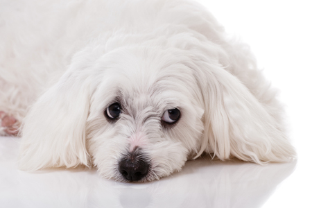 closeup white maltese dog lying and with sad eyes looking aside with reflection on white background