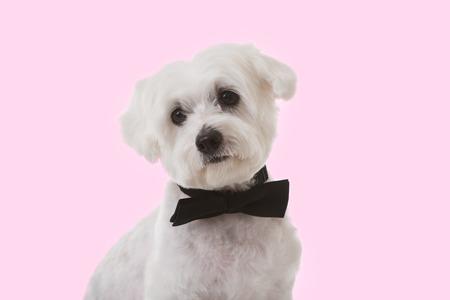 Tir studio de mignon chien maltais en noeud papillon sur fond rose Banque d'images - 94885993