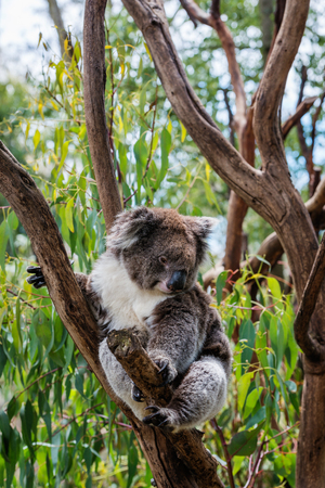A cute koala on the tree