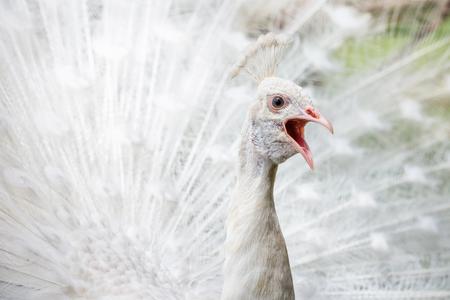 White peacock screaming Stock Photo