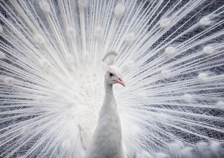 White peacock showing off his bright tail Stock Photo