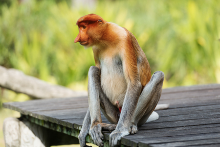 Proboscis Monkey, Nasalis Larvatus or long-nosed monkey, is a reddish-brown arboreal Old World monkey that is endemic to the southeast island of Borneo. 写真素材