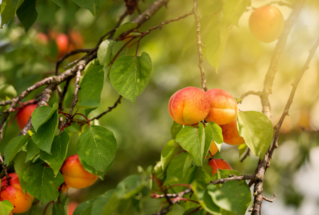 Branch of an apricot tree with ripe fruits at the summer time