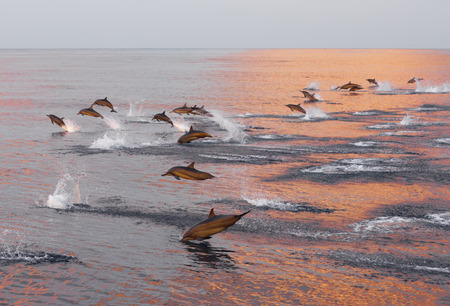 Dolphins are pursuing a flock of fish at sunset. Family of dolphins in the Indian Ocean, Maldives.