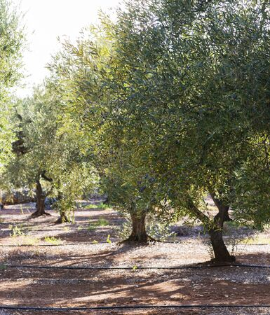 Olive trees with ripened fruits. Sunny day in the garden. Green foliage and healthy berries of agro-culture