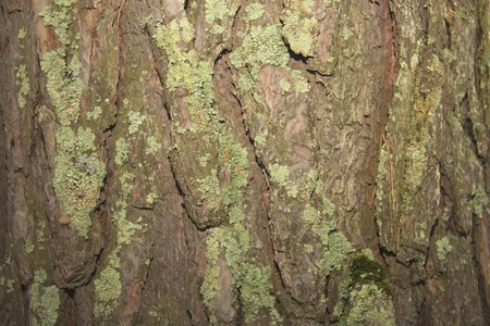 Bark texture with green moss. The texture of the wood