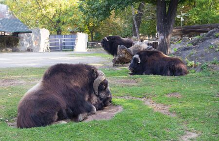 Portrait of musk ox Ovibos moschatus in nature. Musk ox lying on the grass.