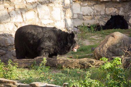 Ussuri Brown Bear Ursus Arctos Lasiotus sitting and watching another bear nearby. Stok Fotoğraf
