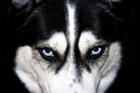 Blue eyes husky close-up. Black and white male Siberian husky.