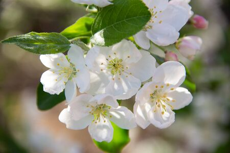 Blooming branch of an Apple tree close up. 版權商用圖片
