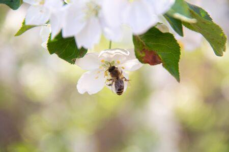 Bee in Flight. Bee on a white flower.