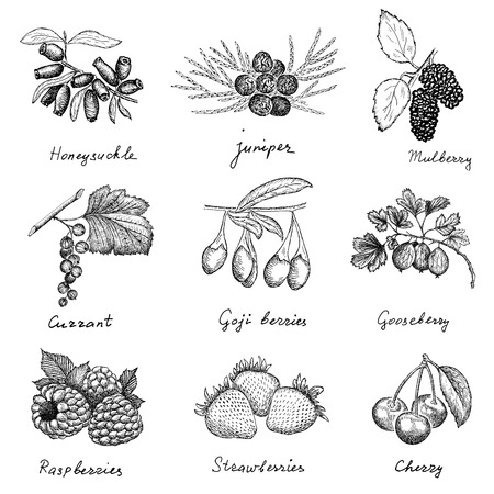 enebro: conjunto de dibujos bayas mano de dibujos vectoriales Vectores