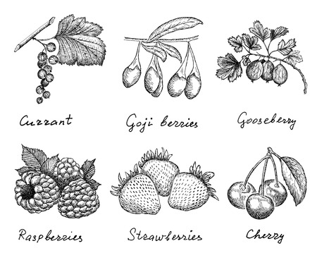 berries  hand drawing set of vector sketches