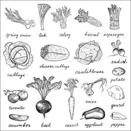 beet: vegetables  hand drawing set of vector sketches
