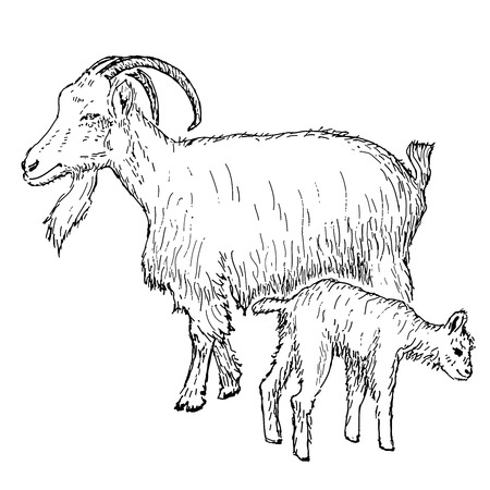 goat with kid  hand drawing set of vector sketches Vector
