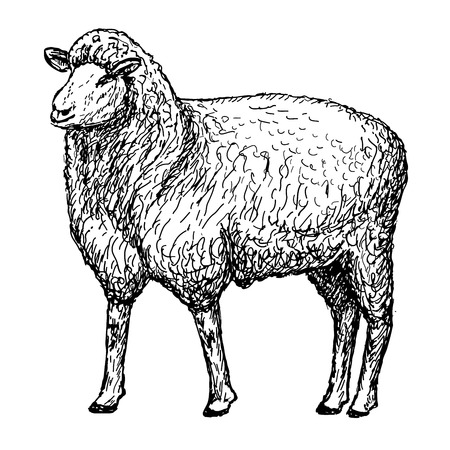 flock of sheep: sheep hands drawing Illustration
