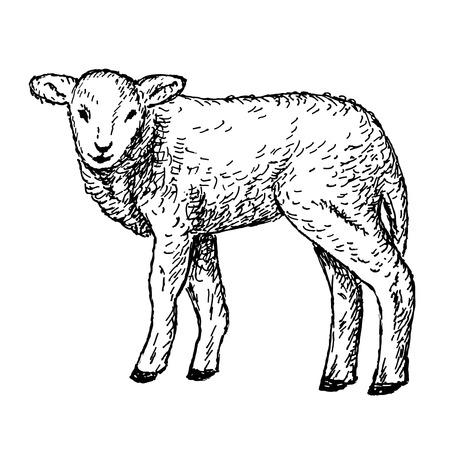 lamb hands drawing Illustration