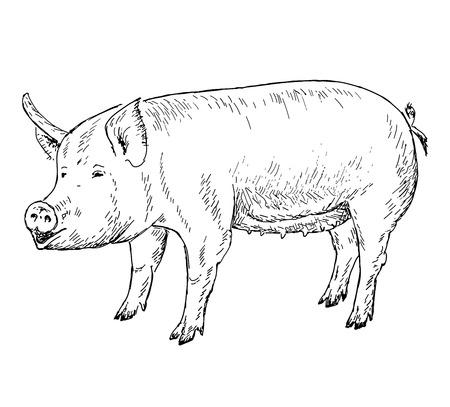 pig hands drawing Illustration