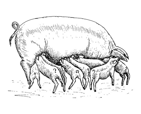 pig with piglets Vector