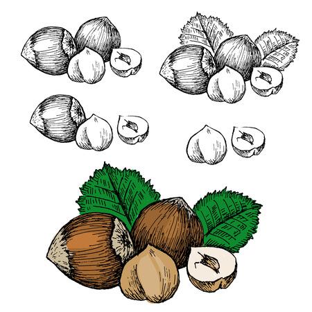filbert: nut filbert