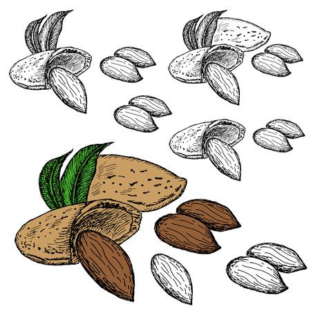 nut almond Vector