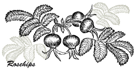 rosehips Illustration