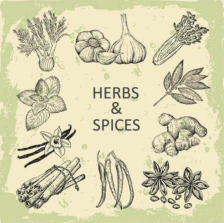 jengibre: hierbas y especias Vectores