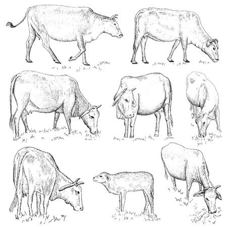 vietnamese: Vietnamese cow