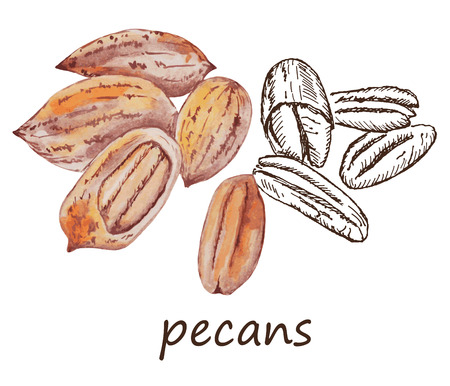 pecans: nut pecans. hand drawing set of vector sketches Illustration