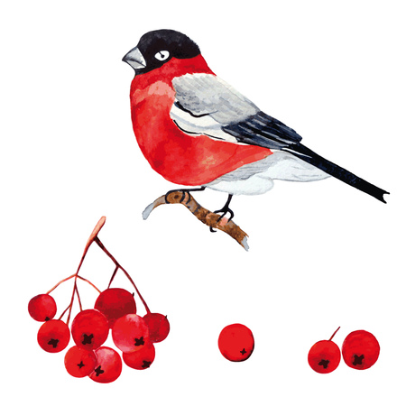 ash berry: Bird and berries. Watercolor colorful element for design holiday.